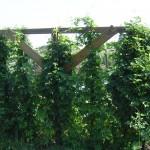 Drunken Lemur hops